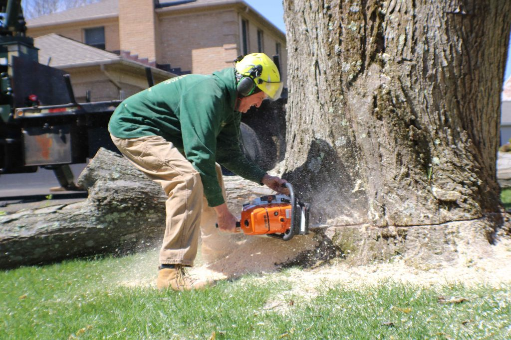 local tree service contractor from Baltimore County MD removing a customer's oak tree
